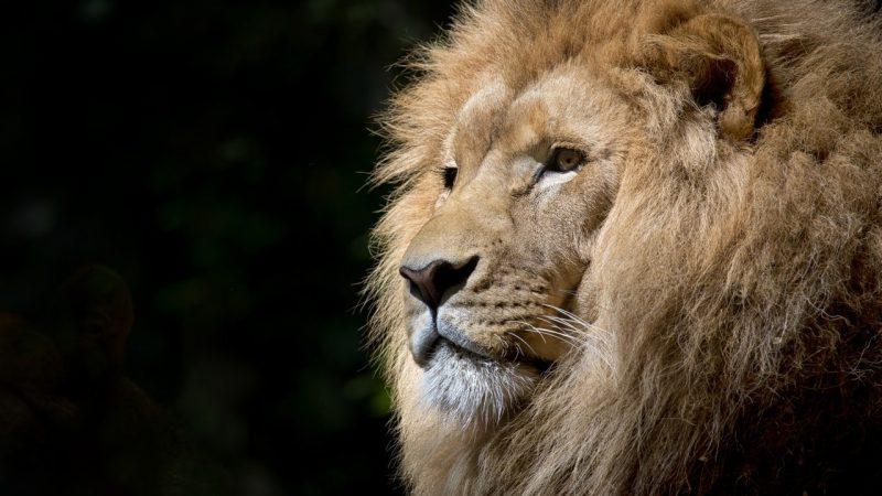 Les différentes représentations du lion
